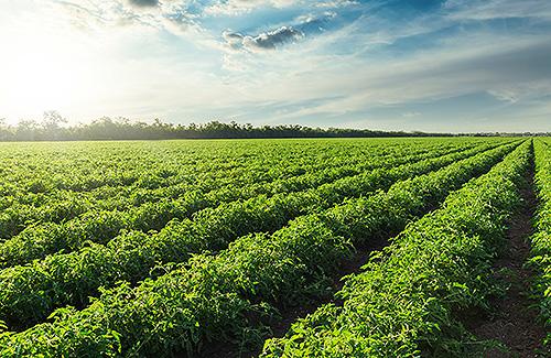 viomixaniki-tomata-field